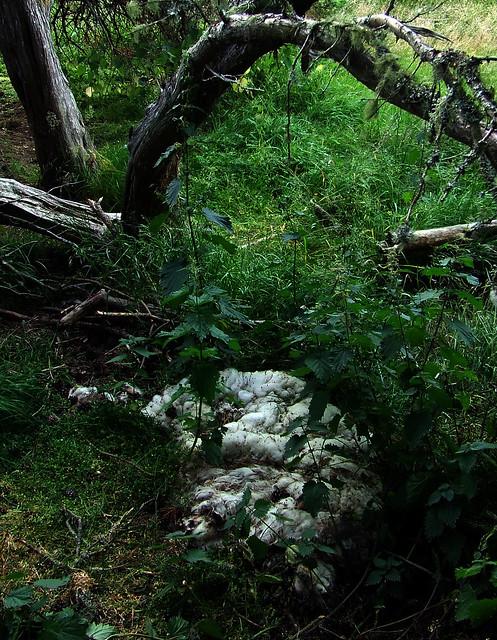 ancient juniper with dead sheep