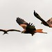 Red Kites - Gigrin Farm Wales by Mrs Airwolfhound