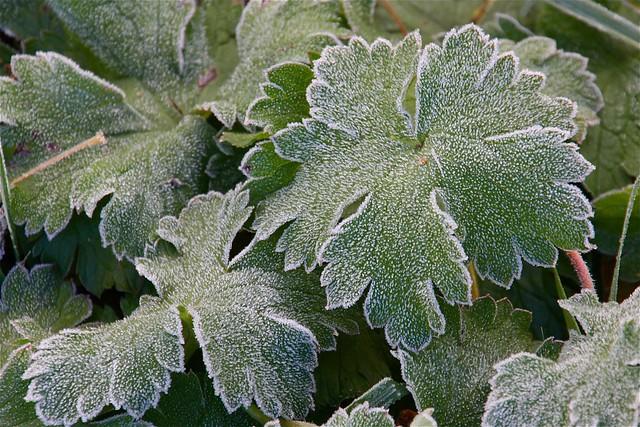 Frost Rimed Geranium