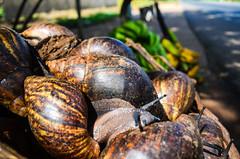 Large snails for sale