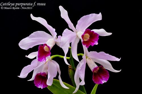 Cattleya purpurata f. rosea by Mauro Rosim