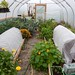 Polytunnel in October