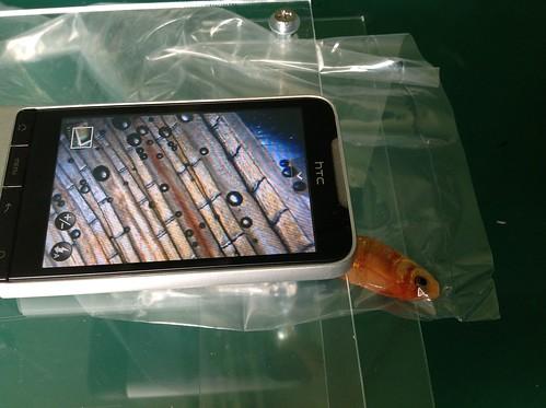 手機顯微鏡拍小魚尾鰭