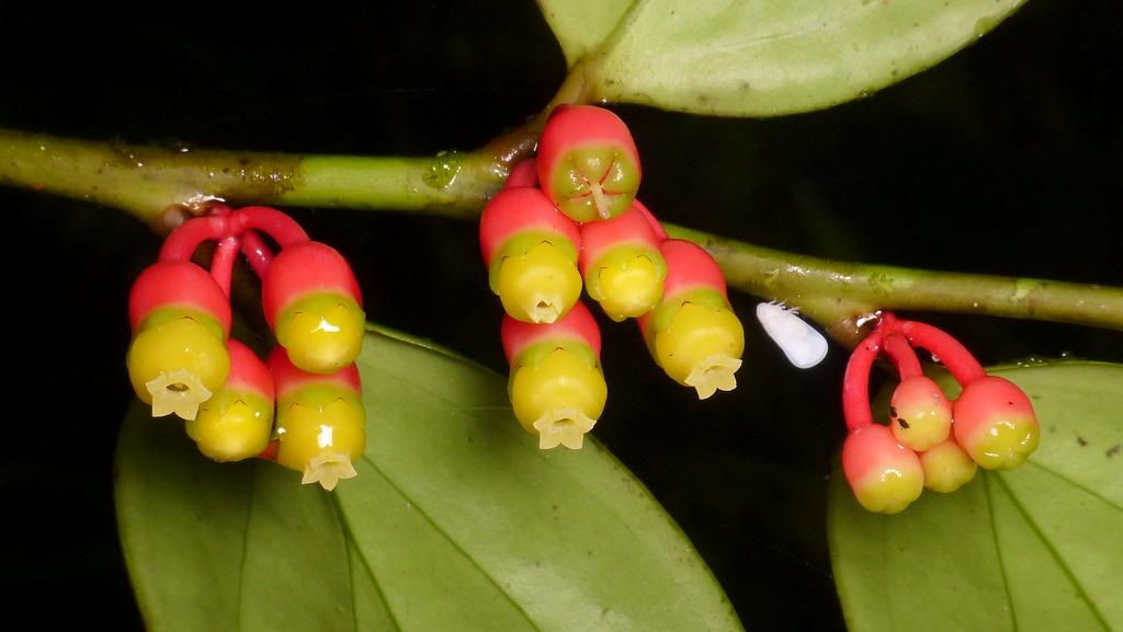 Psammisia flaviflora? Ericaceae & Planthopper