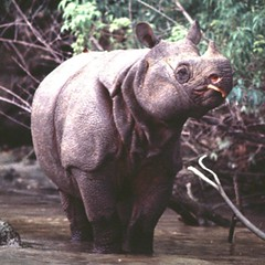 Javan Rhino (Rhinoceros sondaicus) Critically Endangered Probably no more than 44 individuals in the wild – Population stable? Javan rhinos now survive only in Indonesia's Ujung Kulon National Park. The species is believed to have occurred in nine other c