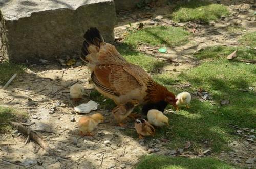 輝要有機菜園內,母雞帶小雞的溫馨畫面。黃淑玲攝