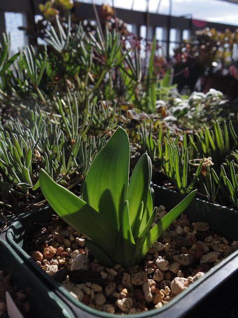 Lachenalia viridiflora and Oxalis leaves
