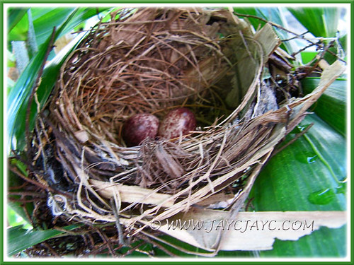 A clutch of two eggs by Pycnonotus goiavier (Yellow-vented Bulbul), 26 Dec 2013