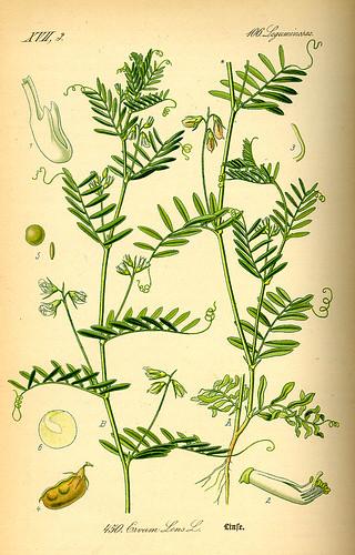 Lentil plant - Lens culinaris