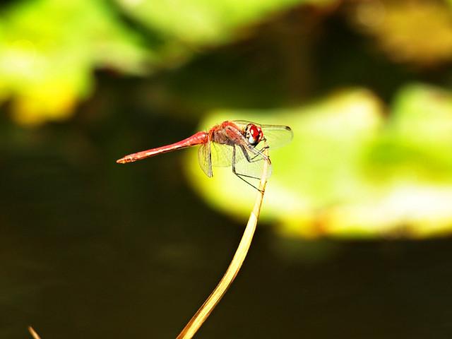 Dragonfly, Botanical Gardens, Puerto de la Cruz, Tenerife
