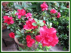 Rhododendron simsii (Indoor/Indian/Chinese Azalea, Sim's Azalea), January 28 2014