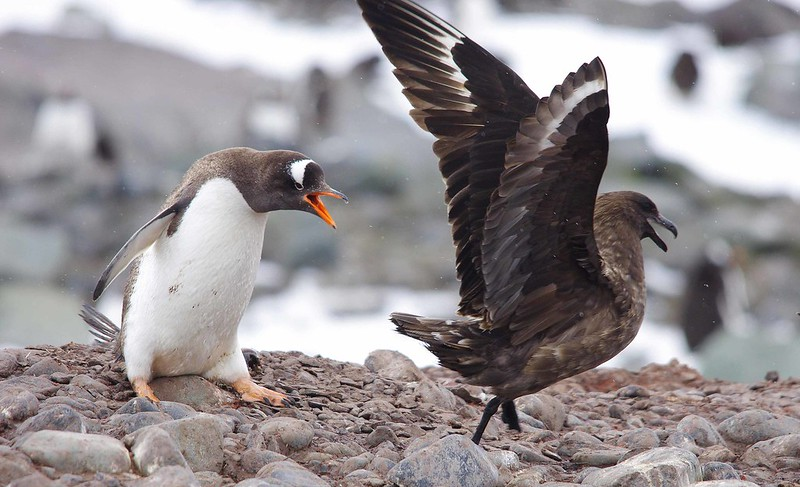 Antarctic Wildlife: Penguin seeing off skua