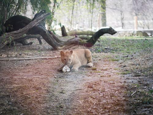 Lion cub feeding