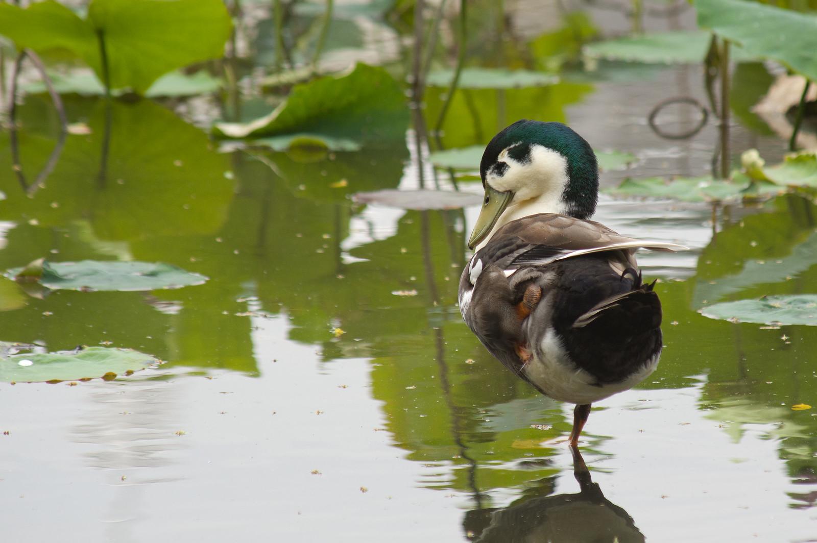 綠頭小鴨鴨