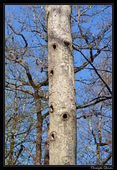 Trous de pic noir (Dryocopus martius)