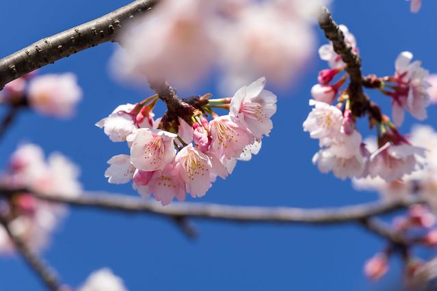 彼岸桜が見頃@太鼓橋付近