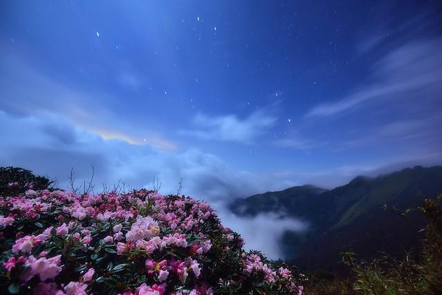 Alpine flowers @ Mt. Hehuan 玉山杜鵑@合歡山 Rhododendron pseudochrysanthum