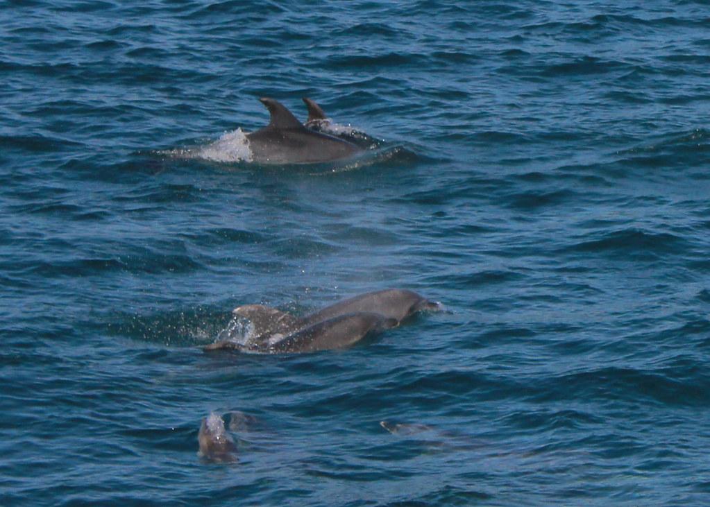 paihia-dolphins