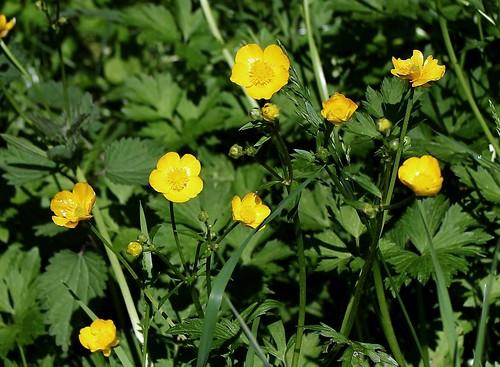 Ranunculus repens - renoncule rampante 33494914543_568524da64