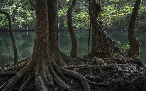 baldcypress cypress lake ladybirdlake dawn blue green bluegreen sunrise olympus