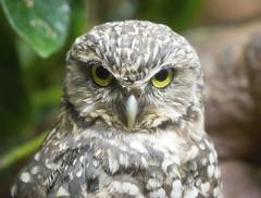 Memphis Zoo 08-31-2016 - Burrowing Owl 3