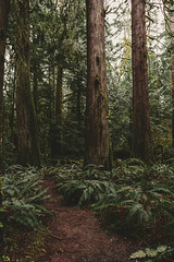 Old Growth Olympic Forest