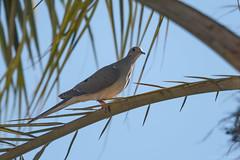 Mourning Dove  -  Carolinataube