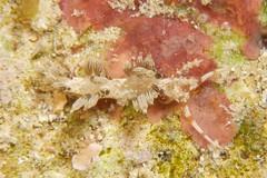 キャロットシードミノウミウシ Phidiana bourailli
