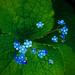 kaukasische vergeet-mij-niet: brunnera macrophylla by Franc Le Blanc .