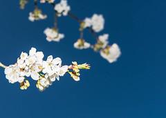 Kirschblüte_015