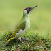 Green Woodpecker by Blake Wardle DPAGB