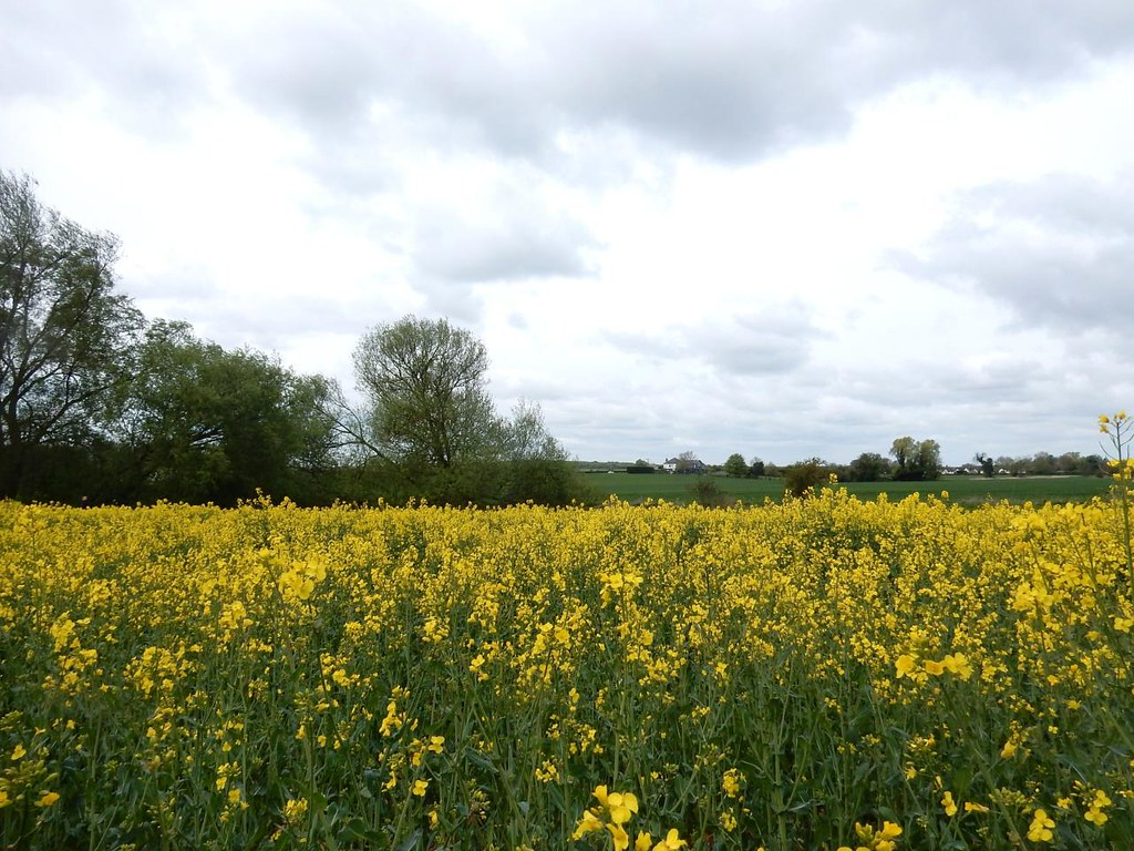 Rapeseed field Great Chesterford to Newport