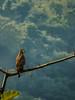 Crested Serpent Eagle (பாம்புப்பருந்து)