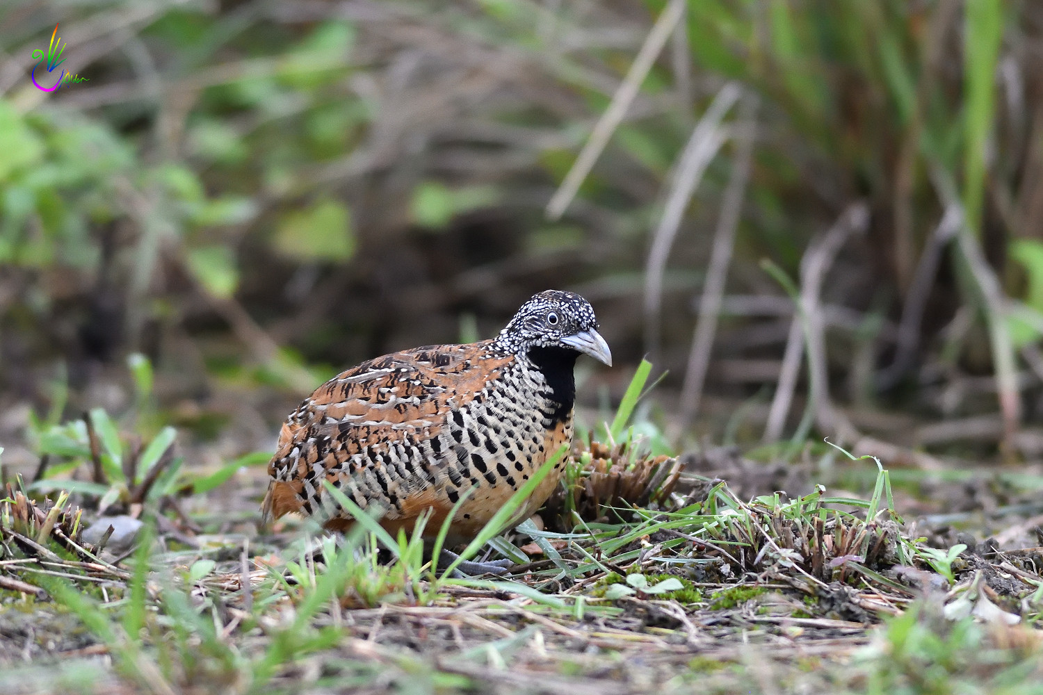 Barred_Buttonquail_2050