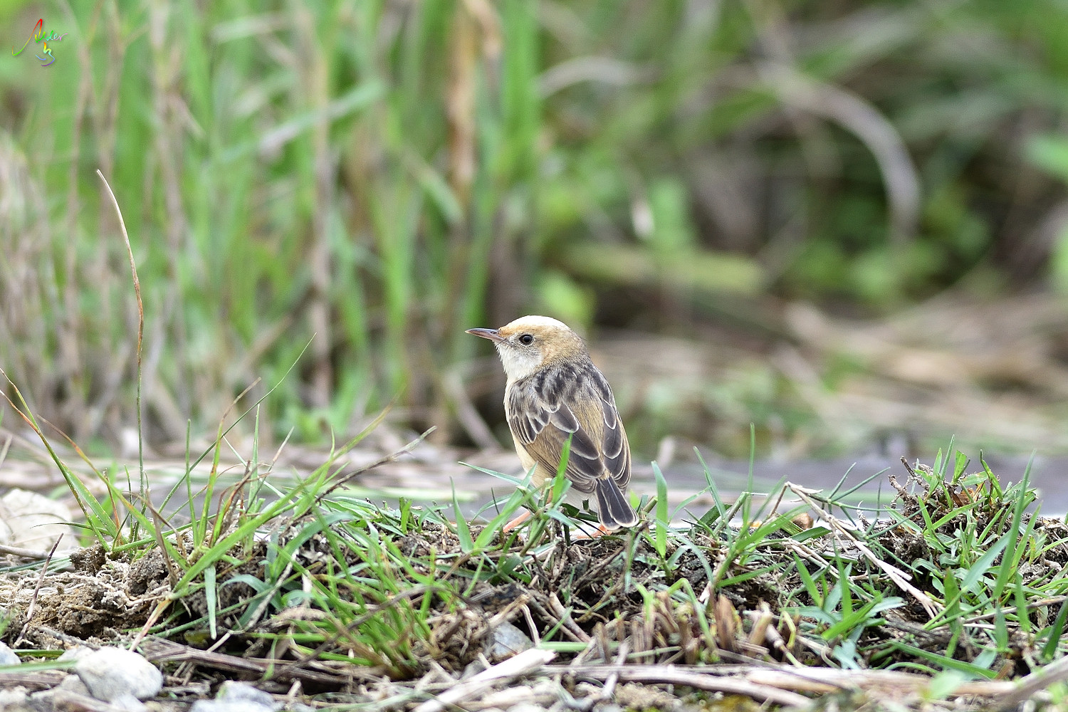 Golden-headed_Cisticola_3242