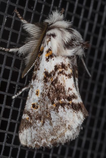 Notodontidae: Thaumetopoeinae