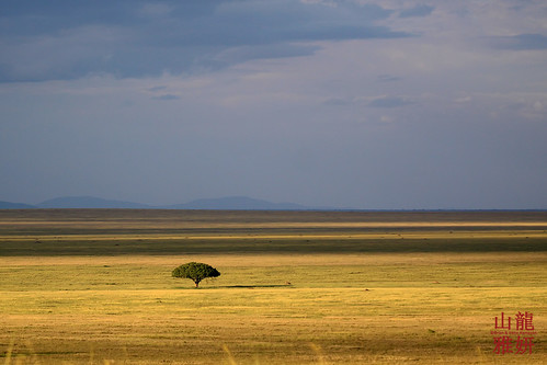africa tree tanzania alone safari lonely serengeti solitary umbrellaacacia tropicaltrails