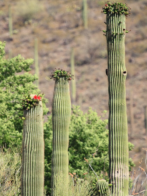 Saguaro Cactus in bloom 20130614 - Copy
