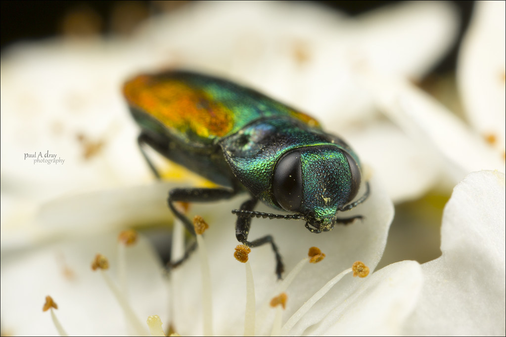 Jewel Beetle | Was pleased to come across this little fellow