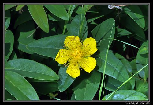 Millepertuis à grandes fleurs (Hypericum calycinum)