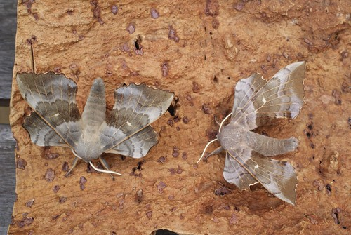 Poplar Hawk-moths (Laothoe populi)