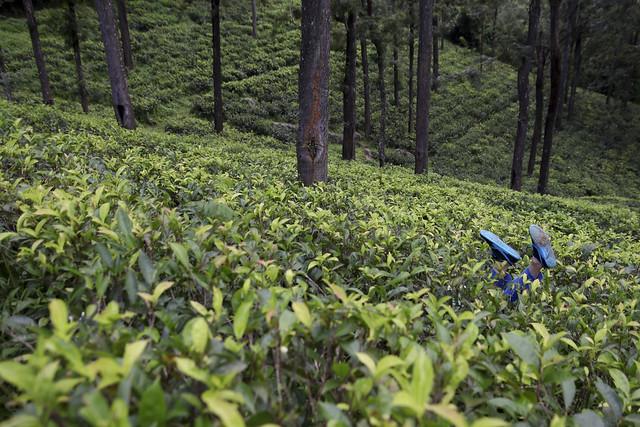 Falling in the tea plantation