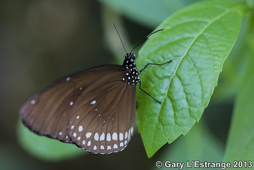 orange usa brown white black hot canon butterfly garden ma outside eos wings open view you magic conservatory spots butter inside deerfield crow common core euploea 40d garylestrangephotography