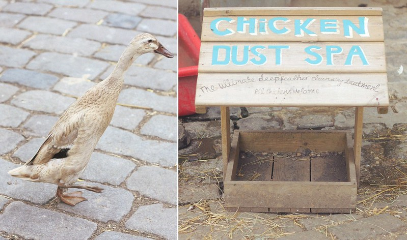 indian runner duck + chicken dust spa