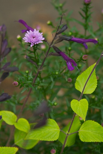 salvia amistad and aster  3581