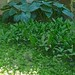 Small photo of Lily of the Valley by the Hostas and Sweet Woodruff