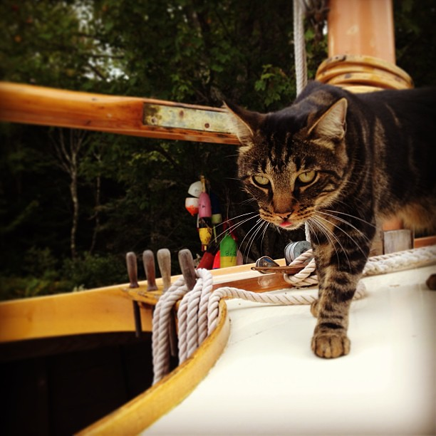 Spike walking around on SHENANIGANZ, a pretty catboat at Woodenboat. No pun intended, seriously. #cat #woodenboat #sailing