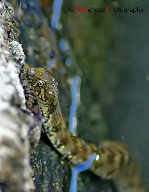 Culebra viperina