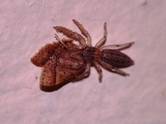 Jumping Spider and moth