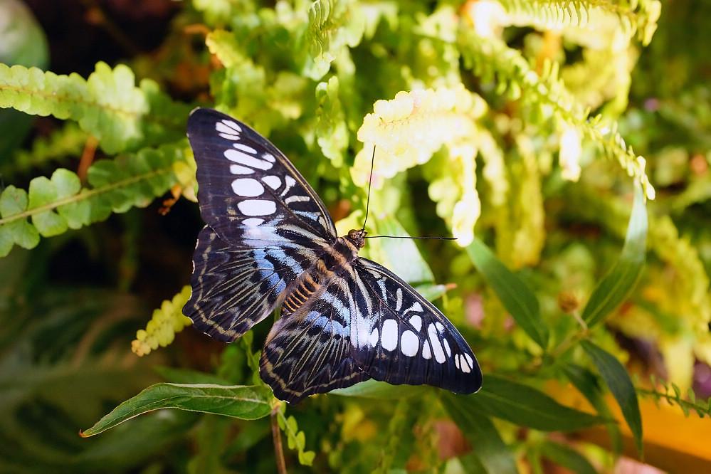 美洲蛺蝶 Parthenos sylvia-3